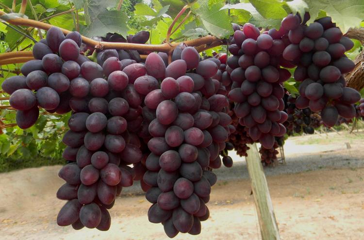 Cultivares de videiras da embrapa uva e vinho disposi o a vindima - Seedless grape cultivars ...