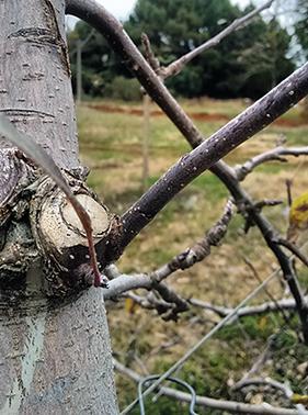 Figura 3. Detalhe do corte em ângulo deixando uma porção de lenho para a brotação de um novo ramo menos vigoroso.  A seta vermelha o corte realizado e a seta branca indica o novo ramo formado.