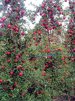 Figura 1. Macieiras conduzidas no sistema 'Tall Spindle'.