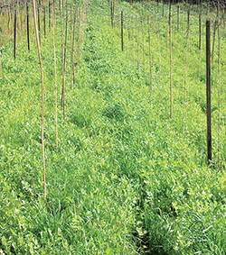 Figura 4c: Área preparada com consórcio de espécies de cobertura vegetal em pleno crescimento
