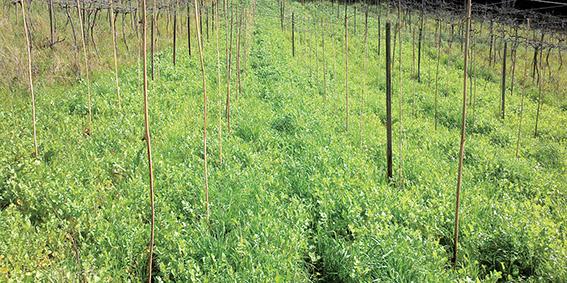 Fig.4c Área preparada com consórcio de espécies de cobertura vegetal em pleno crescimento