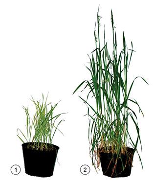 Fig.4a - Plantas de aveia-preta cultivadas em solo com (1) e sem (2) excesso de cobre
