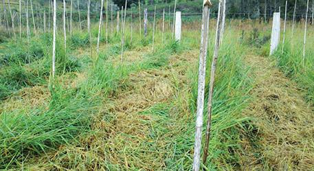 Fig.5a (Errado) - Morte de mudas causada pela competição das plantas de cobertura na linha de plantio