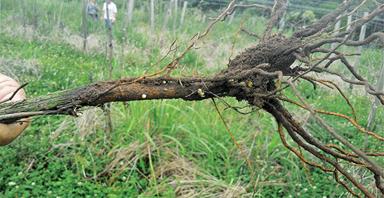 Fig.7a Presença de cistos de pérola da terra em raízes de mudas de videira com menos de um ano após o plantio
