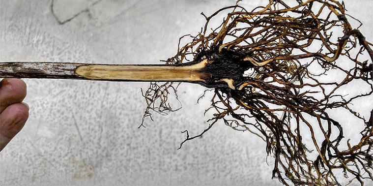 Fig.7b Presença de necroses internas em mudas de videira com menos de um ano após o plantio