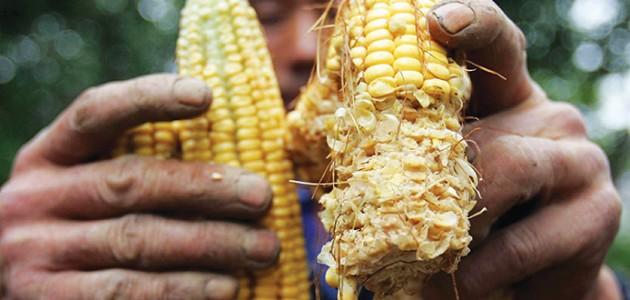 Na Serra Gaúcha, os principais problemas registrados pela espécie são nas lavouras de milho