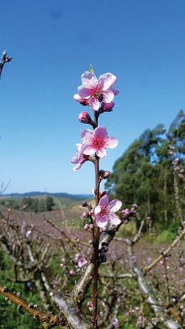 A beleza da floração da fruta de caroço que colore as paisagens da região  – Travessão Leonel – Nova Pádua/RS