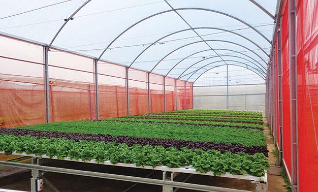 Estufas apresentam vida útil resistente, onde um sistema automático, que funciona como uma esteira, move as calhas das plantas diariamente.