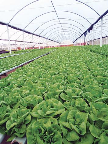 Por fim, uma terceira fase encerra o crescimento das hortaliças. Em meses mais frios, o ciclo completo demora em média 60 dias, período que cai pela metade no verão.
