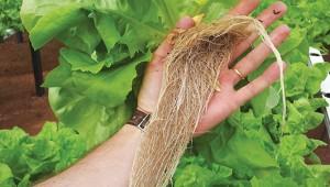 Por serem colhidas com a raiz, as plantas cultivadas em  sistema hidropônico se conservam por mais tempo.