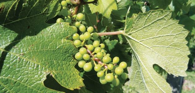 Bagas de Chardonnay em formação na Vinícolas Luiz Argenta, em Flores da Cunha.
