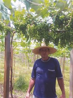 Mauri Gazzi nos cuidados com a uva Niágara Rosa em cultivo protegido. Travessão Alfredo Chaves - Flores da Cunha/RS