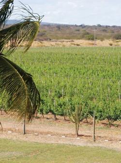 Clima e irrigação propiciam duas colheitas ao ano no nordeste brasileiro