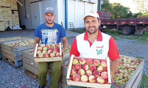 Os produtores e irmãos Marcos e Elan Tonet colhem cerca de 140 toneladas de pêssego no município de Nova Pádua