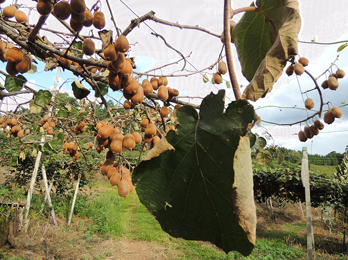 Plantas de kiwi sofrem rapidamente com a ação do fungo que vem dizimando a produção na Serra