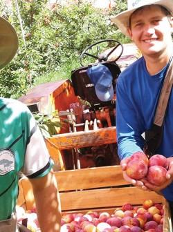 Os irmãos Leonardo e Eduardo Riva juntos na colheita da ameixa. Fazenda Souza, Caxias do Sul/RS