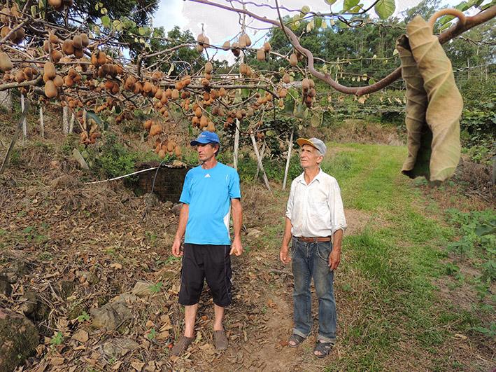 Celito Contini (E) e seu pai, Claudino Contini, mostram o estrago que a doença vem causado no pomar de kiwi da família, em Farroupilha