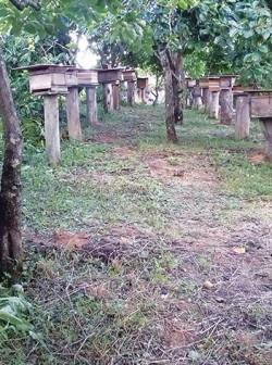 A propriedade da família Morschel conta com a meliponicultura com aproveitamento da vegetação nativa e polinização dos pomares, através da integração destas atividades