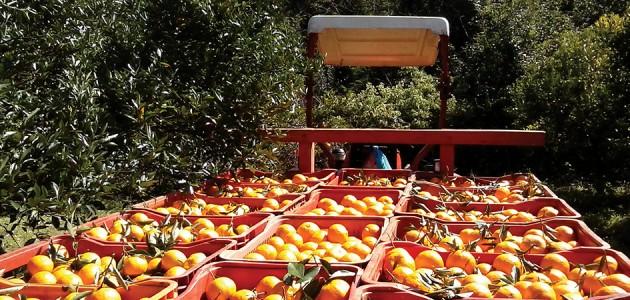 Rio Grande do Sul deve colher mais de 433 mil toneladas de frutas cítricas em 2017.