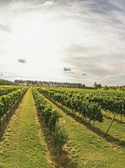 Viticultura já está presente em 27 das 35 microrregiões gaúchas. Destaque é para a Campanha, que saltou de 95 hectares para 564 em 20 anos. Na foto, vinhedos da Dunamis em Dom Pedrito. FOTO/JEFERSON SOLDI/DIVULGAÇÃO