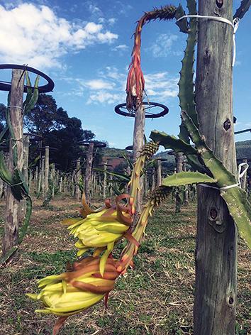 Sítio Pitayas do Vale, situado em Linha Alegre, no interior  de Muçum, comercializa mudas e frutas orgânicas