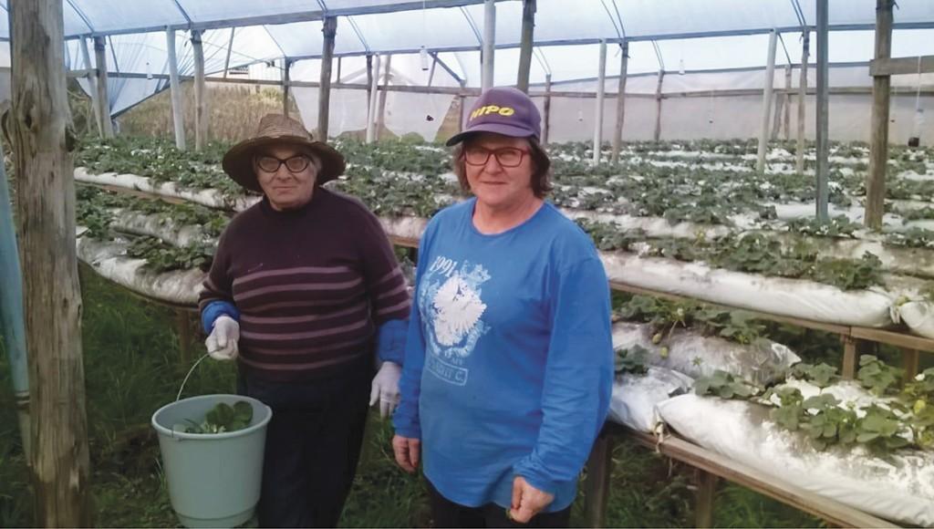 Aos 82 anos, dona Maria Genny Savoldi Moroni mostra que saúde não falta para ajudar a filha, Solice, na produção dos morangos.